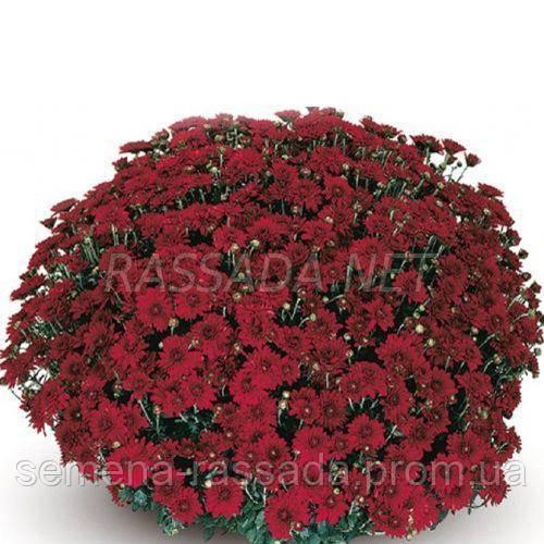 Хризантема Камина красная