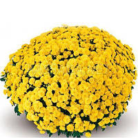 Хризантема Матина желтая