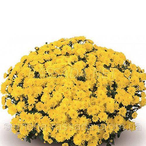 Хризантема Падре жёлтая
