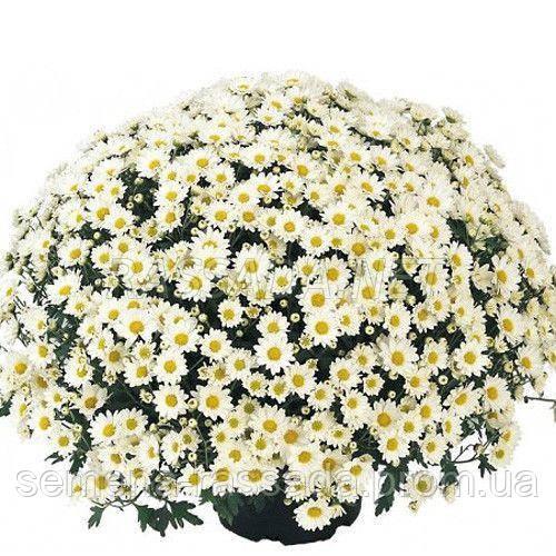 Хризантема Папиро белая
