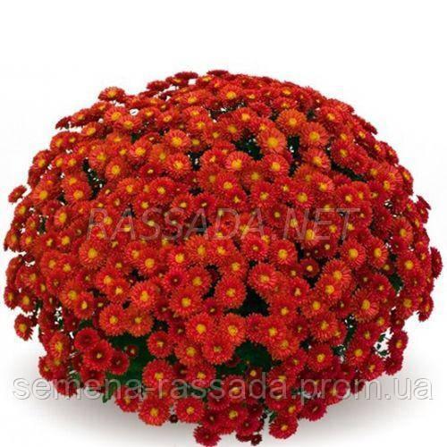 Хризантема Пышка красная