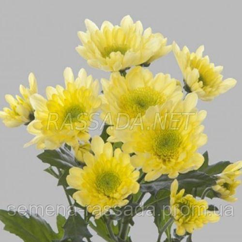 Хризантема Радость желтая