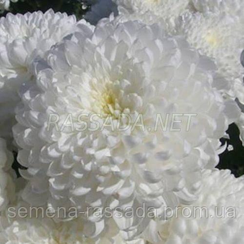 Хризантема Рефлекс белая