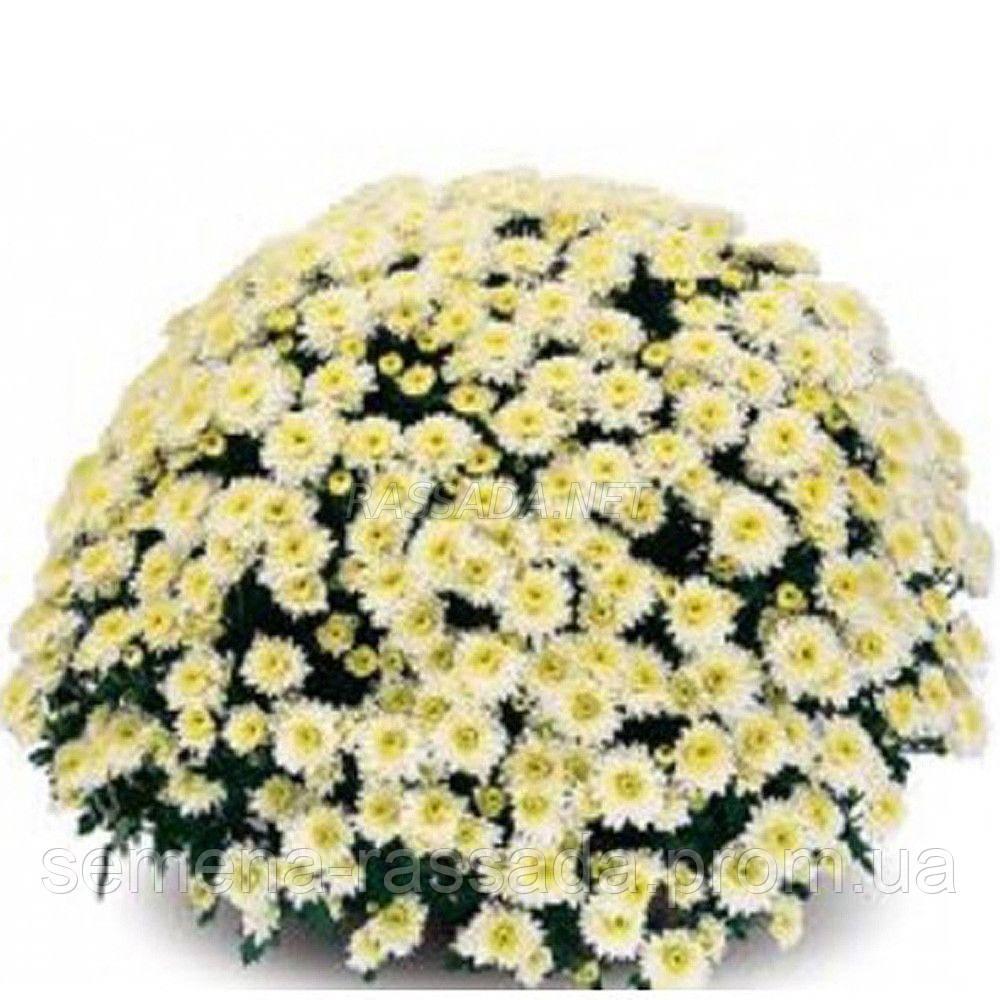 Хризантема Сикардо белая