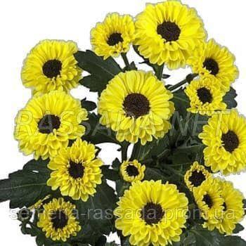 Хризантема Тедча жёлто-чёрная