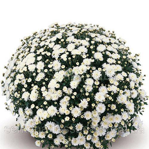 Хризантема Терана белая