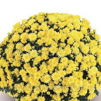 Хризантема Терана жёлтая