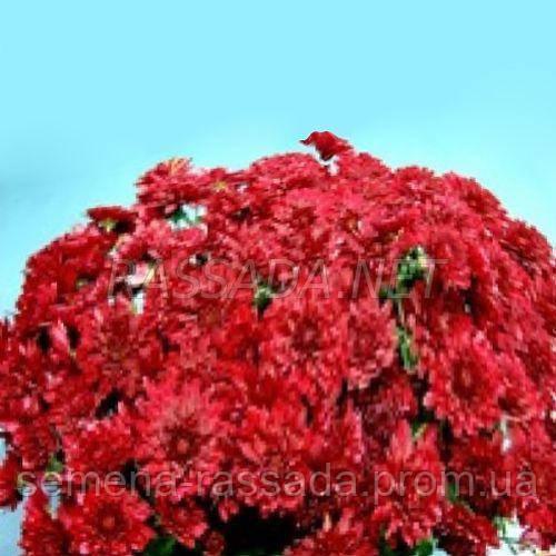 Хризантема Флуки красная