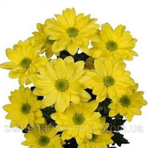 Хризантема Арлина желтая
