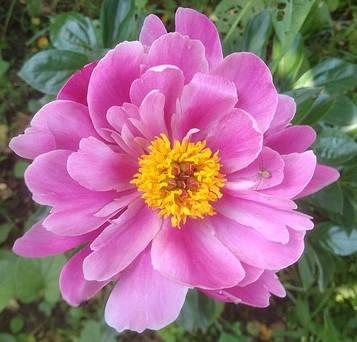 Пион Пинк Делайт 'Pink Delight'  Голландия 3-5 почек - 200гр