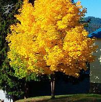 Клен остролистый Princeton Gold 160-200 см