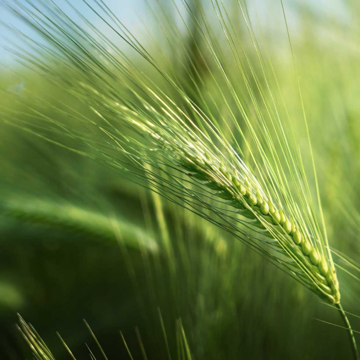 Семена ЯРОВОЙ ЯЧМЕНЬ Вакула, элита, цена за 40 кг