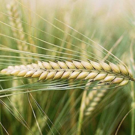 Семена ЯРОВОЙ ЯЧМЕНЬ ДОСТОЙНЫЙ, элита, цена за 40 кг, фото 2