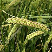 Семена ЯРОВОЙ ЯЧМЕНЬ Модер, элита, цена за 40 кг