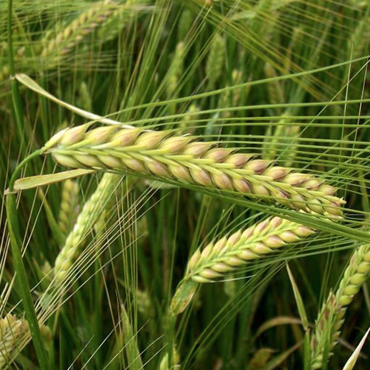 Семена ЯРОВОЙ ЯЧМЕНЬ Модерн, элита, цена за 40 кг
