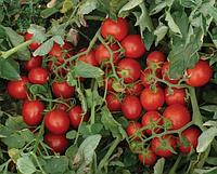 Томат 2206 F1 - Heinz Seed (Хайнц Сид), уп. 5 000 семян (детерминантный)