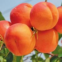 Саджанці абрикосу Нью Джерсі Американ (середньоспілий сорт)