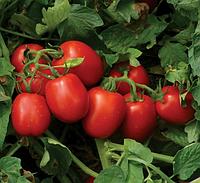 Томат 1015 F1 - Heinz Seed (Хайнц Сид), уп. 100 000 семян (детерминантный)