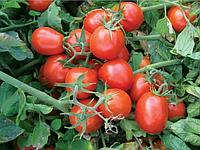 Томат 9661 F1 - Heinz Seed (Хайнц Сид), уп. 500 семян (детерминантный)