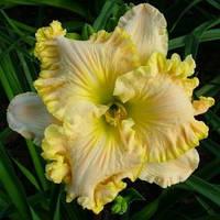 Лилейник желто- персиковый, фото 1