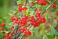 Шефердия Канадская | Шефердія Канадська | Shepherdia canadensis (ЗКС; горшок 0,7 л)