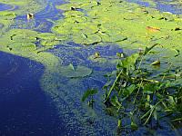 4 основных типа водорослей в пруду