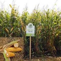 Семена кукурузы МВ 251 (ФАО 280)