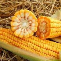 Семена кукурузы МВ 277 (ФАО 310)