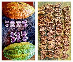 Какао боби Кріолло (Criollo)
