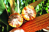 "Семена кукурузы Австрия ФАО 350  Зирикус от группы компаний ""RWA Raiffeisen Ware Austria AG"""