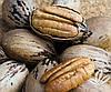 Саджанці щепленого пекана КАНЗА (дворічні)
