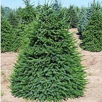 Ель Сербская (Picea Omorika)(Двухлетняя)