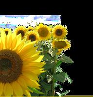 Семена подсолнечника Хортица, фото 1
