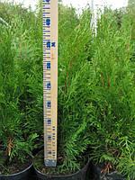 Продажа недорого Туя Смарагд  45-50см и др. размеров в горшках, фото 1