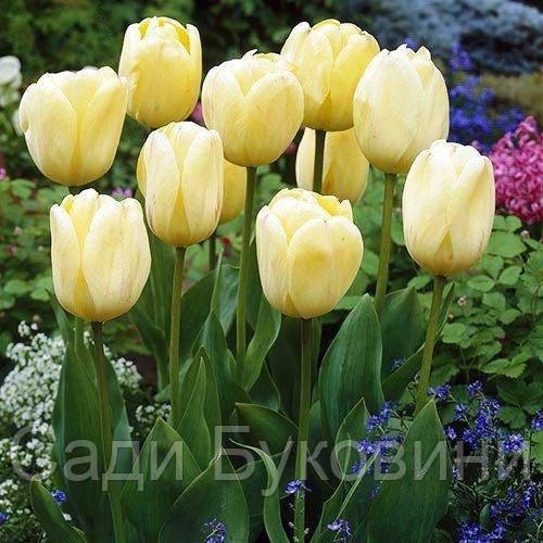 Тюльпан Ivory Floradale (луковицы) 3 шт