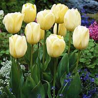 Тюльпан Ivory Floradale (луковицы) 3 шт, фото 1