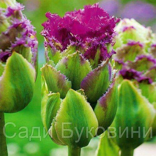 Тюльпан Purple Tower (луковицы) 2 шт