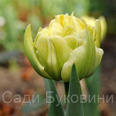 Тюльпан Verona (луковицы) 3 шт