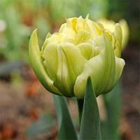 Тюльпан Verona (луковицы) 3 шт, фото 1