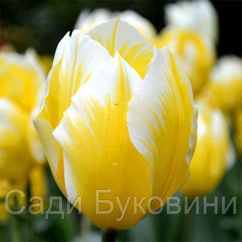 Тюльпан Sweetheart (луковицы) 3 шт