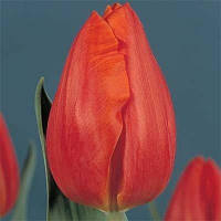 Тюльпан Frohnleiten (луковицы) 3 шт, фото 1