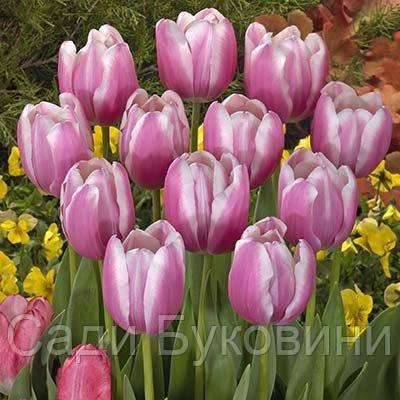 Тюльпан Jumbo Beauty (луковицы) 3 шт