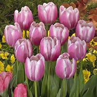Тюльпан Jumbo Beauty (луковицы) 3 шт, фото 1