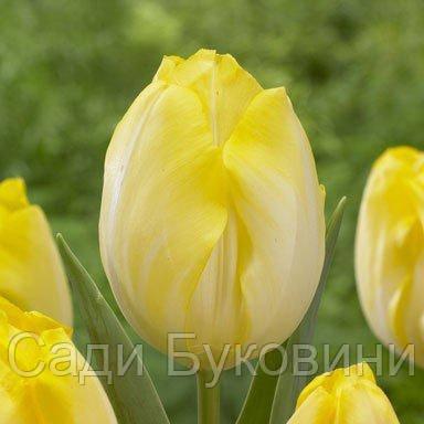 Тюльпан Bolroyal Silver (луковицы) 3 шт