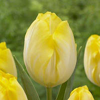 Тюльпан Bolroyal Silver (луковицы) 3 шт, фото 1