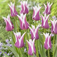 Тюльпан Ballade (луковицы) 3 шт, фото 1