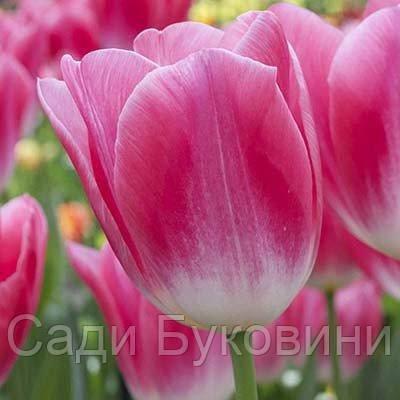 Тюльпан Dynasty (луковицы) 3 шт