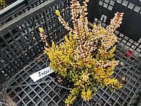 Вереск Обыкновенный 'Anouk' цвет Белый | Вереск звичайний Anouk (ЗКС; контейнер 0,7 л)