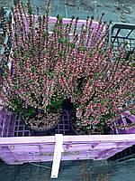 Вереск Обыкновенный 'Saphira' цвет Сиреневый | Calluna vulgaris Saphira (ЗКС; контейнер 0,7 л)