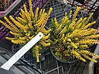 Вереск Обыкновенный 'Agneta' цвет Белый | Вереск звичайний Agneta (ЗКС; контейнер 0,7 л)
